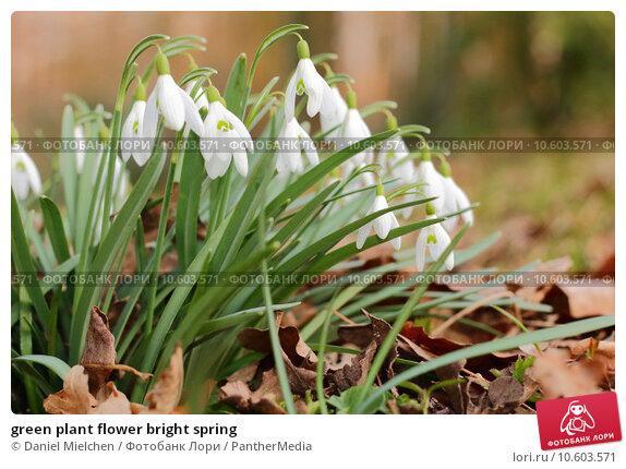 green plant flower bright spring. Стоковое фото, фотограф Daniel Mielchen / PantherMedia / Фотобанк Лори