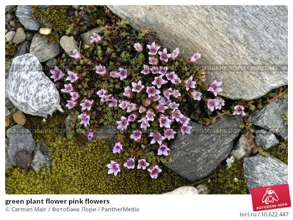 green plant flower pink flowers. Стоковое фото, фотограф Carmen Mair / PantherMedia / Фотобанк Лори