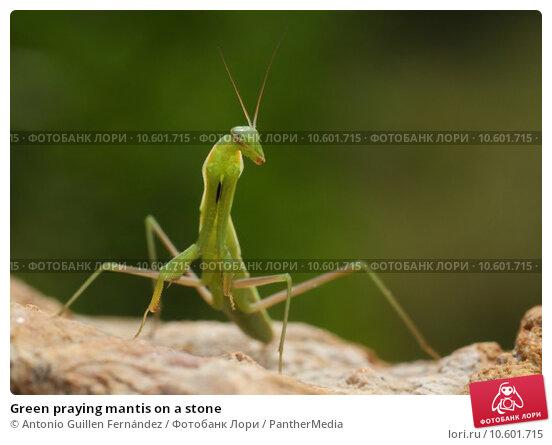 Green praying mantis on a stone. Стоковое фото, фотограф Antonio Guillen Fernández / PantherMedia / Фотобанк Лори
