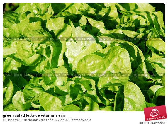 Купить «green salad lettuce vitamins eco», фото № 9086567, снято 20 июля 2019 г. (c) PantherMedia / Фотобанк Лори