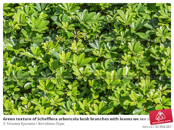 Green texture of Schefflera arboricola bush branches with leaves we see in the photo. Стоковое фото, фотограф Татьяна Куклина / Фотобанк Лори