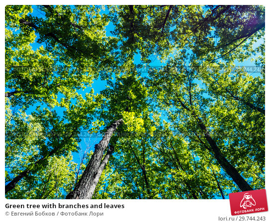 Купить «Green tree with branches and leaves», фото № 29744243, снято 11 июня 2017 г. (c) Евгений Бобков / Фотобанк Лори