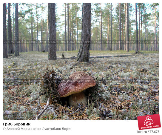 Гриб Боровик, фото № 77675, снято 2 сентября 2006 г. (c) Алексей Маринченко / Фотобанк Лори