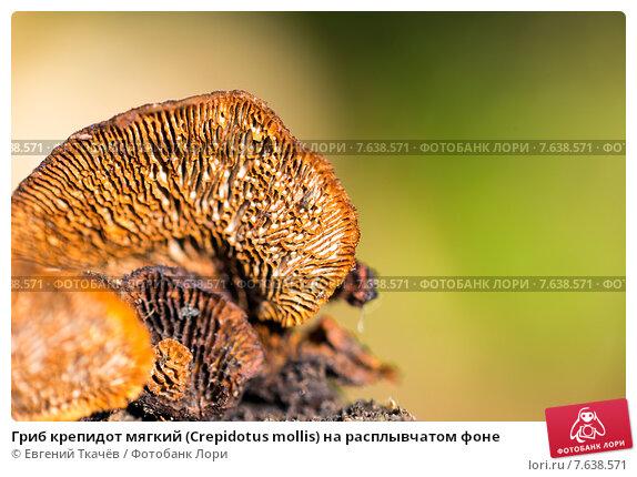 Купить «Гриб крепидот мягкий (Crepidotus mollis) на расплывчатом фоне», фото № 7638571, снято 13 июня 2015 г. (c) Евгений Ткачёв / Фотобанк Лори