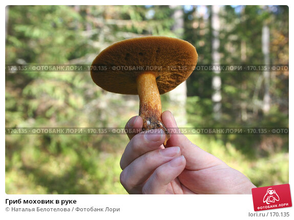 Купить «Гриб моховик в руке», фото № 170135, снято 30 сентября 2007 г. (c) Наталья Белотелова / Фотобанк Лори