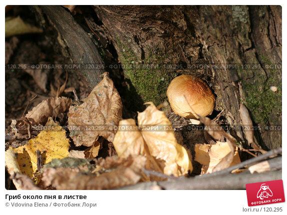 Гриб около пня в листве, фото № 120295, снято 7 октября 2007 г. (c) Vdovina Elena / Фотобанк Лори