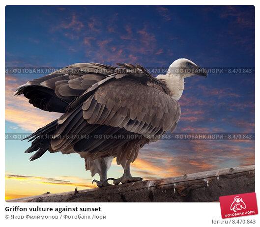 Купить «Griffon vulture against sunset», фото № 8470843, снято 19 ноября 2018 г. (c) Яков Филимонов / Фотобанк Лори