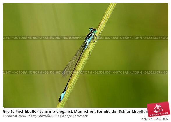 Große Pechlibelle (Ischnura elegans), Männchen, Familie der Schlanklibellen... Стоковое фото, фотограф Zoonar.com/Georg / age Fotostock / Фотобанк Лори