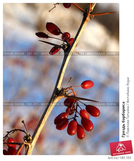 Гроздь барбариса, фото № 181151, снято 3 января 2008 г. (c) Павлова Татьяна / Фотобанк Лори