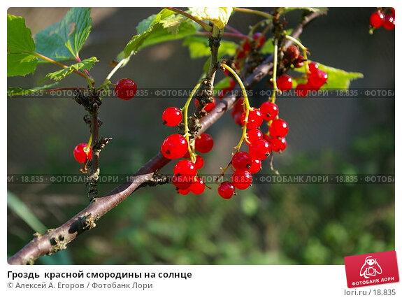 Гроздь  красной смородины на солнце, фото № 18835, снято 15 июля 2006 г. (c) Алексей А. Егоров / Фотобанк Лори