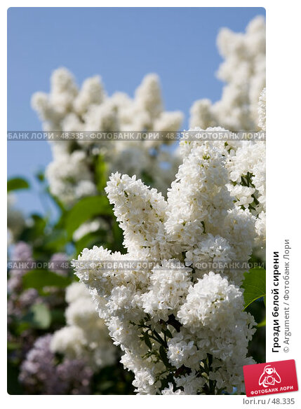 Грозди белой сирени, фото № 48335, снято 30 мая 2007 г. (c) Argument / Фотобанк Лори