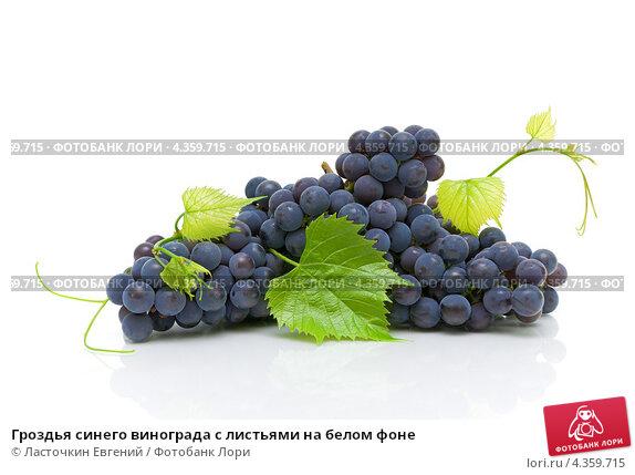 Купить «Гроздья синего винограда с листьями на белом фоне», фото № 4359715, снято 12 августа 2012 г. (c) Ласточкин Евгений / Фотобанк Лори