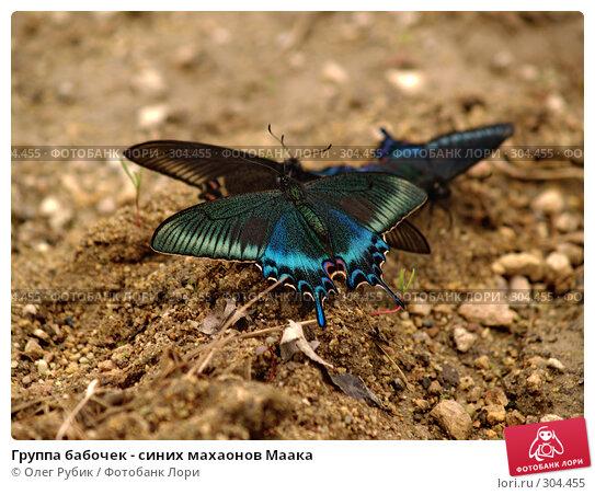 Группа бабочек - синих махаонов Маака, фото № 304455, снято 3 мая 2008 г. (c) Олег Рубик / Фотобанк Лори