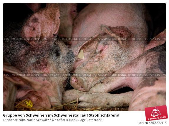 Gruppe von Schweinen im Schweinestall auf Stroh schlafend. Стоковое фото, фотограф Zoonar.com/Nailia Schwarz / age Fotostock / Фотобанк Лори