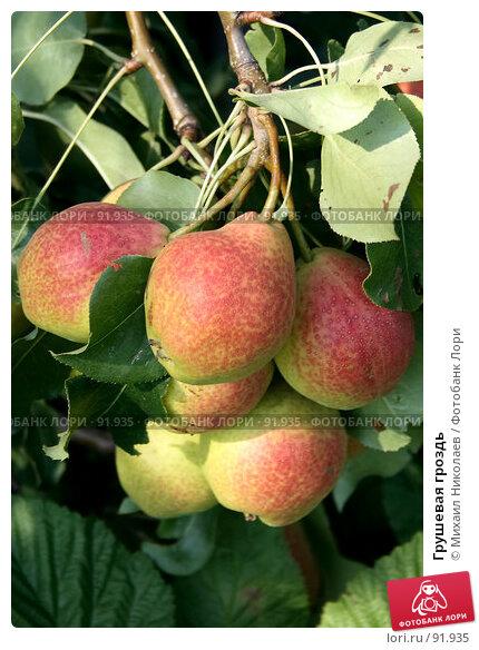 Грушевая гроздь, фото № 91935, снято 17 августа 2007 г. (c) Михаил Николаев / Фотобанк Лори