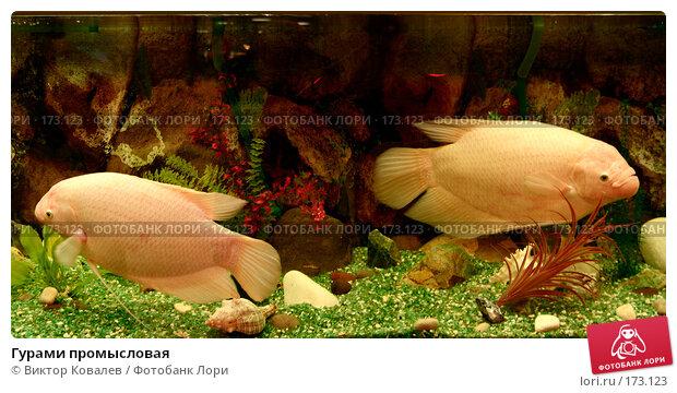 Гурами промысловая, фото № 173123, снято 11 января 2008 г. (c) Виктор Ковалев / Фотобанк Лори