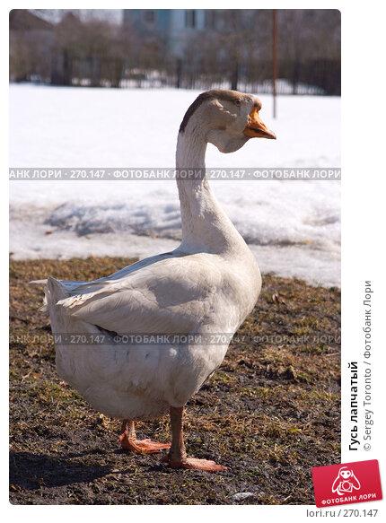 Гусь лапчатый, фото № 270147, снято 29 марта 2008 г. (c) Sergey Toronto / Фотобанк Лори