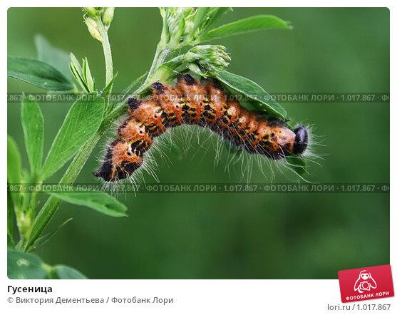 Гусеница. Стоковое фото, фотограф Виктория Дементьева / Фотобанк Лори