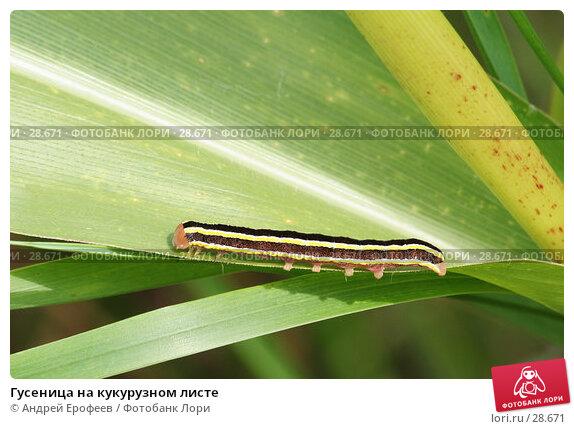 Гусеница на кукурузном листе, фото № 28671, снято 2 сентября 2006 г. (c) Андрей Ерофеев / Фотобанк Лори