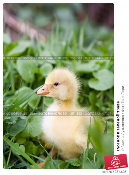 Гусенок в зеленой траве, фото № 251603, снято 13 апреля 2008 г. (c) Галина Лукьяненко / Фотобанк Лори