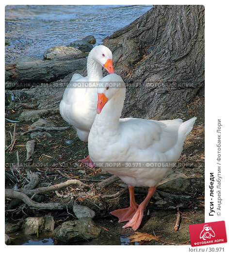 Гуси - лебеди, фото № 30971, снято 6 июля 2005 г. (c) Андрей Лабутин / Фотобанк Лори