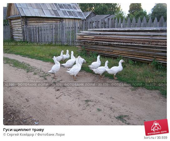 Гуси щиплют траву, фото № 30939, снято 7 июля 2006 г. (c) Сергей Ксейдор / Фотобанк Лори