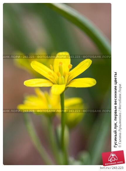 Гусиный лук, первые весенние цветы, фото № 243223, снято 5 апреля 2008 г. (c) Галина Лукьяненко / Фотобанк Лори