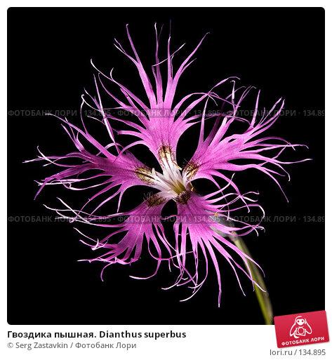 Гвоздика пышная. Dianthus superbus, фото № 134895, снято 14 августа 2006 г. (c) Serg Zastavkin / Фотобанк Лори