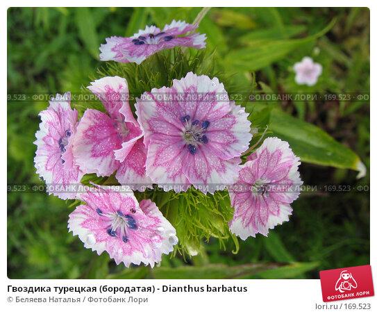 Гвоздика турецкая (бородатая) - Dianthus barbatus, фото № 169523, снято 1 июля 2006 г. (c) Беляева Наталья / Фотобанк Лори