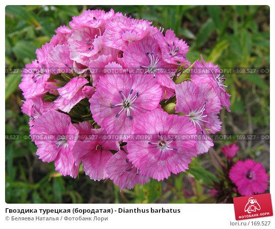 Гвоздика турецкая (бородатая) - Dianthus barbatus, фото № 169527, снято 2 июля 2006 г. (c) Беляева Наталья / Фотобанк Лори