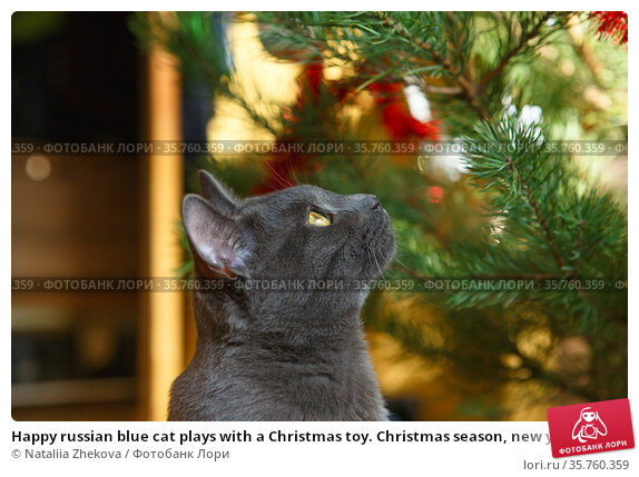 Happy russian blue cat plays with a Christmas toy. Christmas season, new year, holidays and celebration. Funny cat sitting at home. Christmas cat. Стоковое фото, фотограф Nataliia Zhekova / Фотобанк Лори