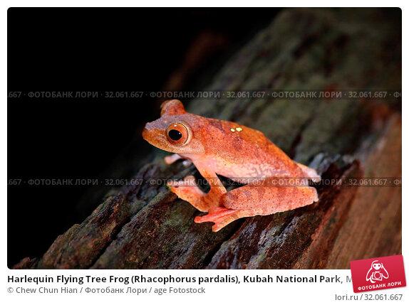 Harlequin Flying Tree Frog (Rhacophorus pardalis), Kubah National Park, Malaysia. Стоковое фото, фотограф Chew Chun Hian / age Fotostock / Фотобанк Лори