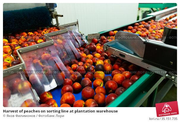 Harvest of peaches on sorting line at plantation warehouse. Стоковое фото, фотограф Яков Филимонов / Фотобанк Лори