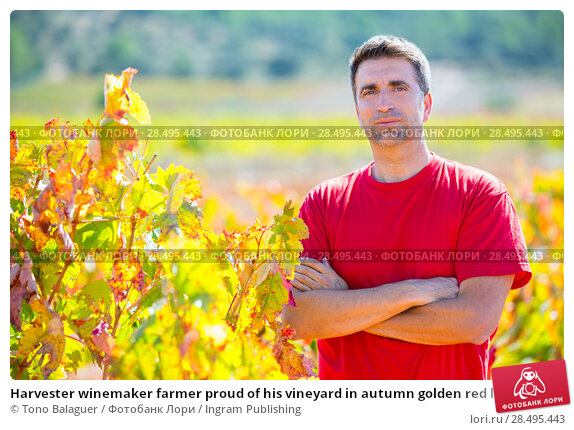 Купить «Harvester winemaker farmer proud of his vineyard in autumn golden red leaves at Mediterranean», фото № 28495443, снято 17 октября 2013 г. (c) Ingram Publishing / Фотобанк Лори