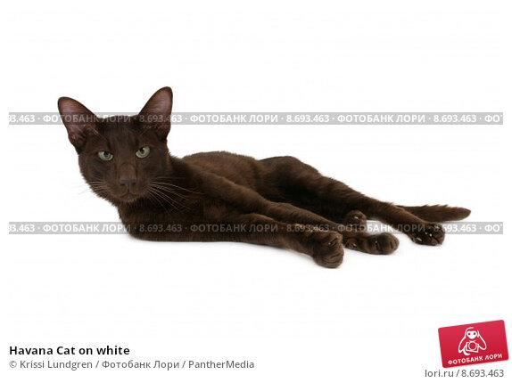 Купить «Havana Cat on white», фото № 8693463, снято 22 сентября 2019 г. (c) PantherMedia / Фотобанк Лори