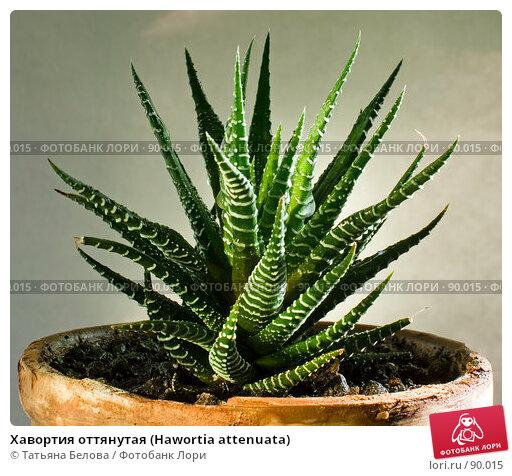 Хавортия оттянутая (Hawortia attenuata), фото № 90015, снято 29 мая 2007 г. (c) Татьяна Белова / Фотобанк Лори