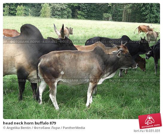 Купить «head neck horn buffalo 879», фото № 8031031, снято 24 мая 2018 г. (c) PantherMedia / Фотобанк Лори