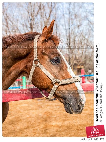 Купить «Head of a beautiful chestnut stallion at the farm», фото № 21922507, снято 24 апреля 2019 г. (c) FotograFF / Фотобанк Лори