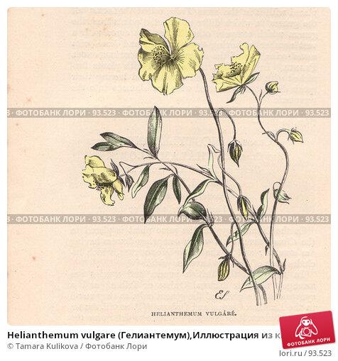 """Helianthemum vulgare (Гелиантемум),Иллюстрация из книги """"Полевые цветы"""" ,1888 г.,, иллюстрация № 93523 (c) Tamara Kulikova / Фотобанк Лори"""