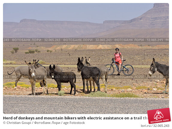 Herd of donkeys and mountain bikers with electric assistance on a trail through the reg, from Agdz to Zagora, Draa River valley, Province of Zagora, Region Draa-Tafilalet, Morocco, North West Africa. (2019 год). Редакционное фото, фотограф Christian Goupi / age Fotostock / Фотобанк Лори