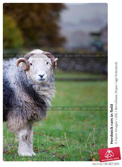 Herdwick ram in field. Стоковое фото, фотограф Farm Images \ UIG / age Fotostock / Фотобанк Лори