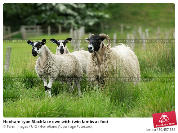 Hexham type Blackface ewe with twin lambs at foot. Стоковое фото, фотограф Farm Images \ UIG / age Fotostock / Фотобанк Лори