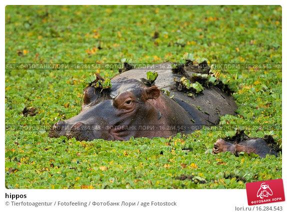Купить «hippos», фото № 16284543, снято 19 марта 2019 г. (c) age Fotostock / Фотобанк Лори
