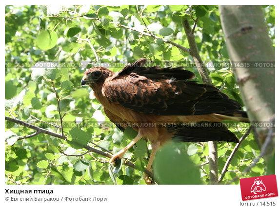 Хищная птица, фото № 14515, снято 16 июля 2006 г. (c) Евгений Батраков / Фотобанк Лори