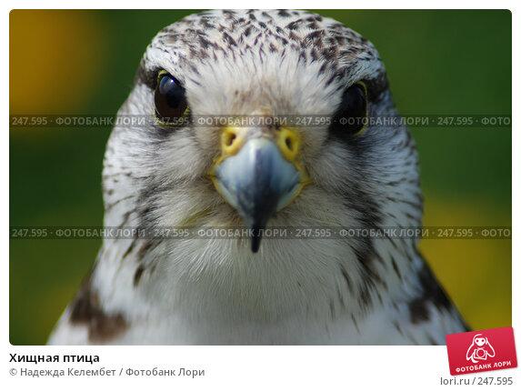 Хищная птица, фото № 247595, снято 19 мая 2007 г. (c) Надежда Келембет / Фотобанк Лори