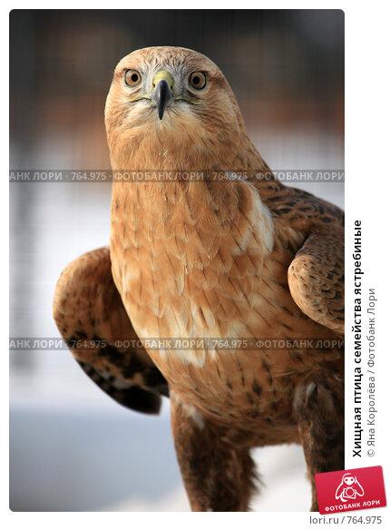 Купить «Хищная птица семейства ястребиные», эксклюзивное фото № 764975, снято 19 марта 2009 г. (c) Яна Королёва / Фотобанк Лори
