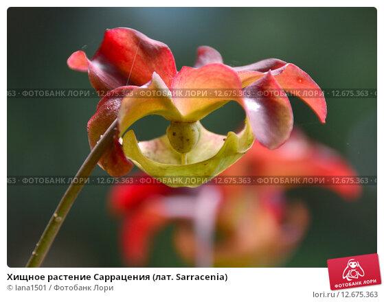 Купить «Хищное растение Саррацения (лат. Sarracenia)», эксклюзивное фото № 12675363, снято 6 августа 2015 г. (c) lana1501 / Фотобанк Лори