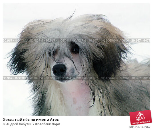 Хохлатый пёс по имени Атос, фото № 30967, снято 18 февраля 2006 г. (c) Андрей Лабутин / Фотобанк Лори