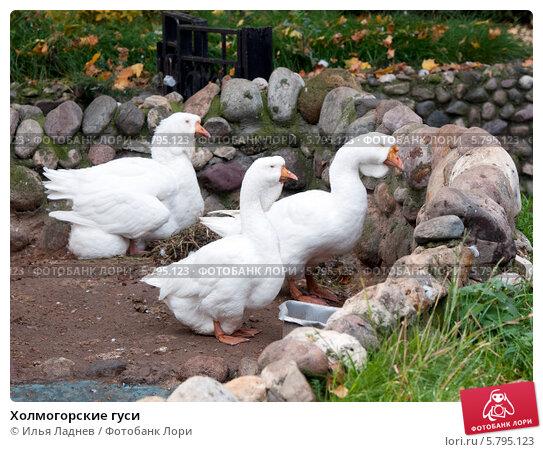 Купить «Холмогорские гуси», фото № 5795123, снято 30 сентября 2012 г. (c) Илья Ладнев / Фотобанк Лори