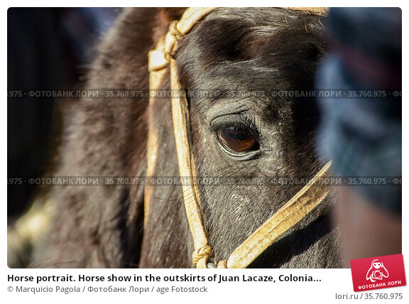 Horse portrait. Horse show in the outskirts of Juan Lacaze, Colonia... Стоковое фото, фотограф Marquicio Pagola / age Fotostock / Фотобанк Лори